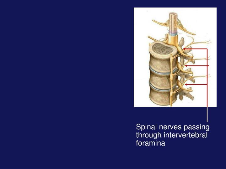 Spinal nerves passing through intervertebral foramina