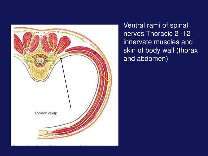 Ventral rami of spinal nerves Thoracic 2 -12 innervate muscles and skin of body wall (thorax and abdomen)