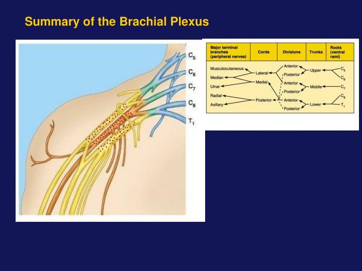 Summary of the Brachial Plexus