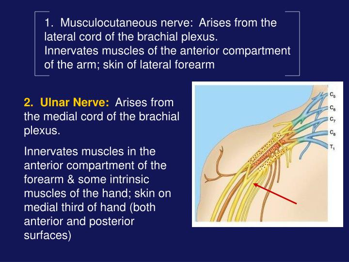 1.  Musculocutaneous nerve:  Arises from the lateral cord of the brachial plexus.