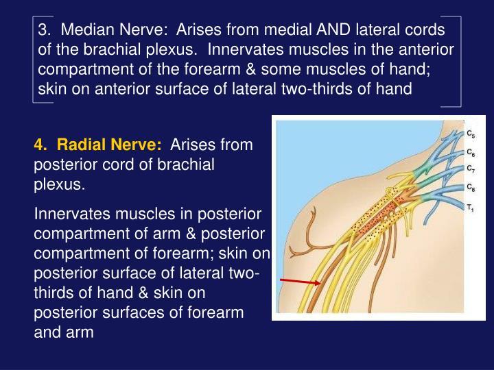 3.  Median Nerve: