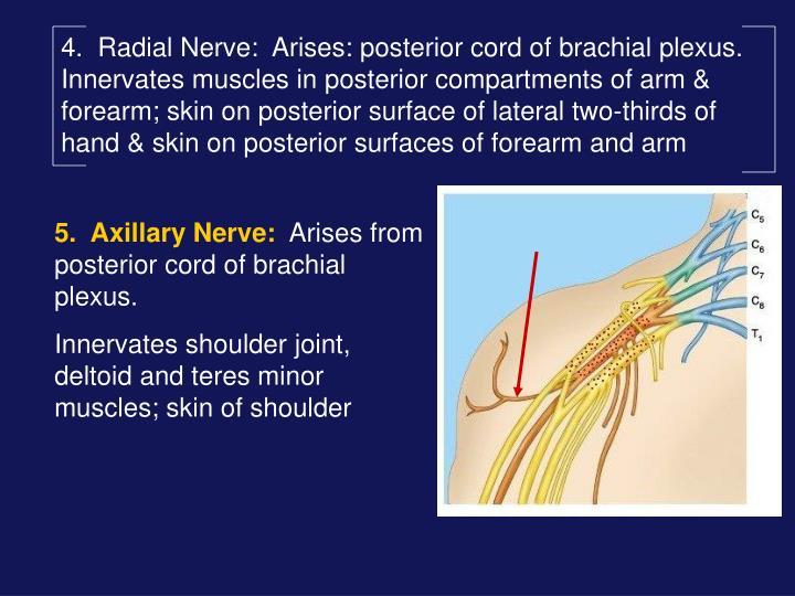 4.  Radial Nerve: