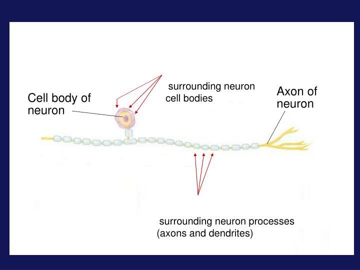 surrounding neuron cell bodies
