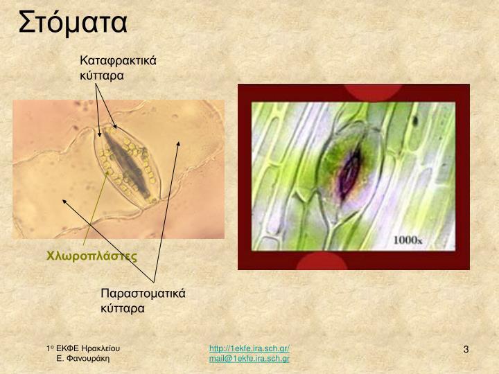 Καταφρακτικά κύτταρα
