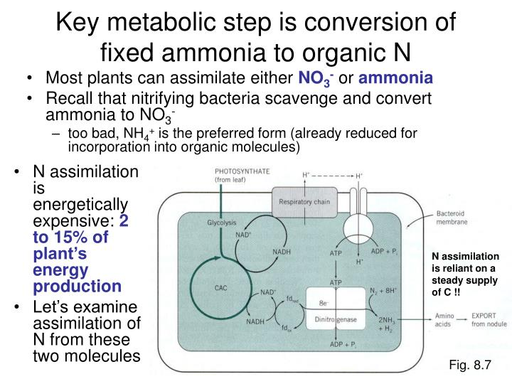 Key metabolic step is conversion of fixed ammonia to organic N