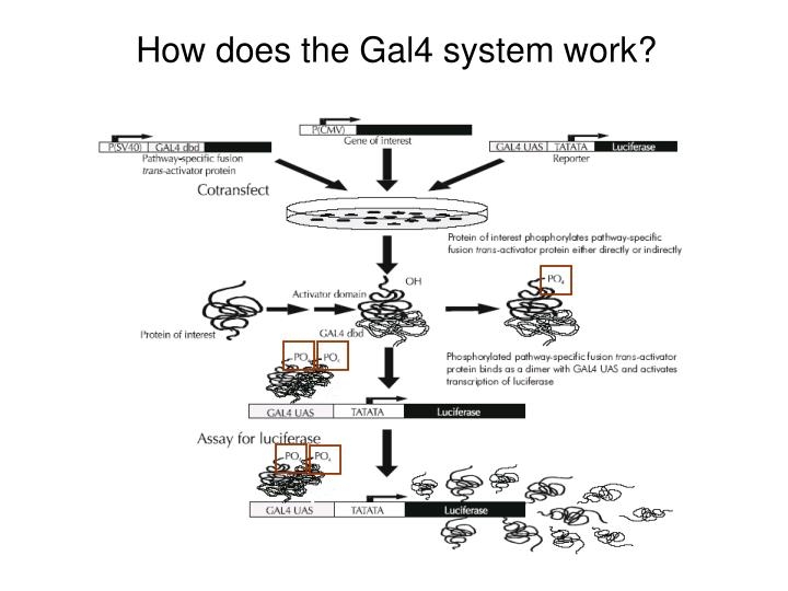 How does the Gal4 system work?