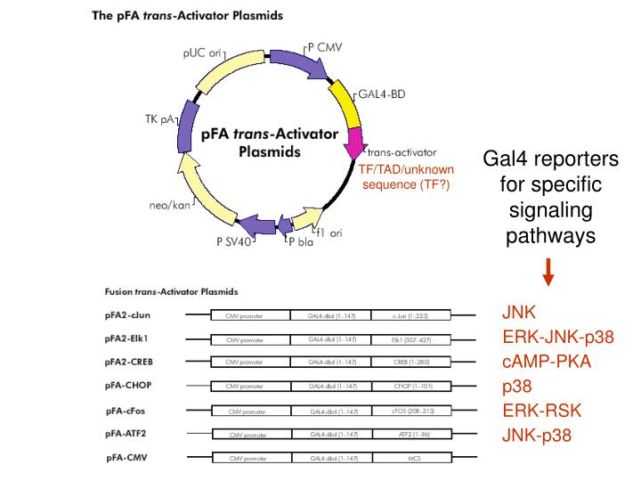 Gal4 reporters for specific signaling pathways