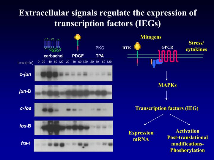 Extracellular signals regulate the