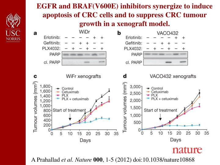 EGFR and BRAF(V600E) inhibitors synergize to induce apoptosis of CRC cells and to suppress CRC tumour growth in a xenograft model.