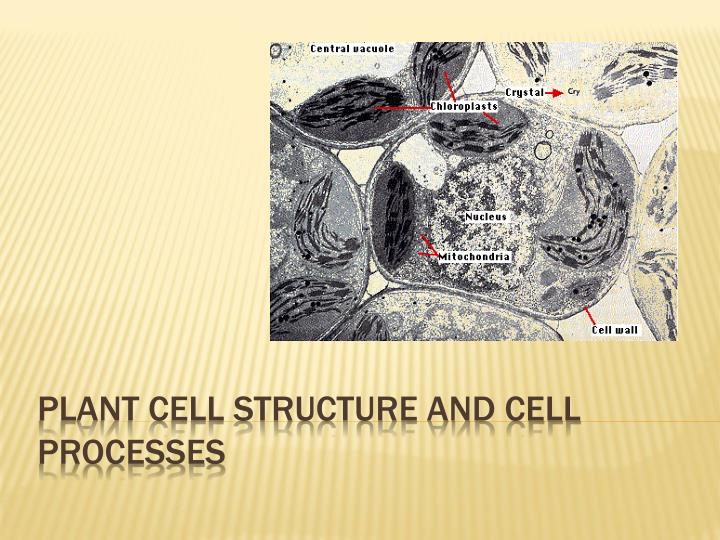 plant cell structure and cell processes n.