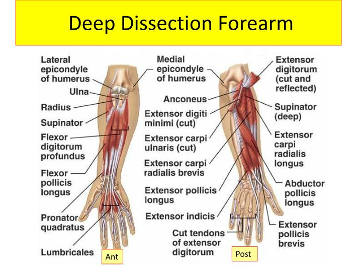 Ppt Muscles Of The Forearm Powerpoint Presentation Id2927215