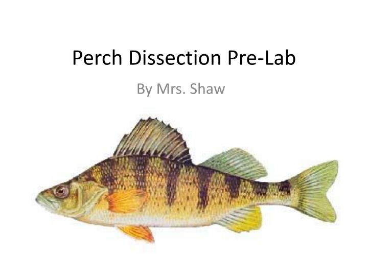 Ppt Perch Dissection Pre Lab Powerpoint Presentation Id2928063