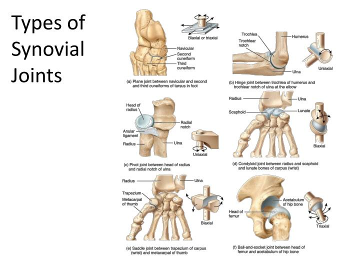 Ppt Synovial Joints Powerpoint Presentation Id2930660