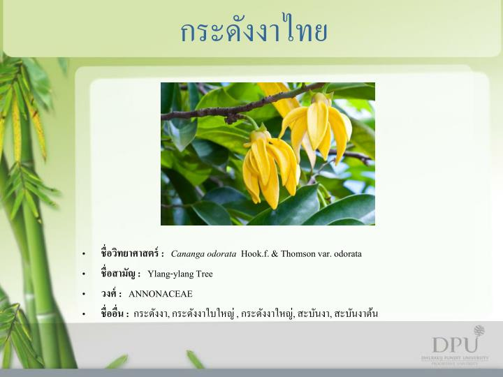 กระดังงาไทย