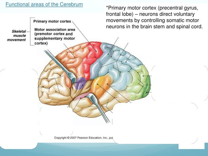 Ppt Brain Notes Part 3 Powerpoint Presentation Id2931296