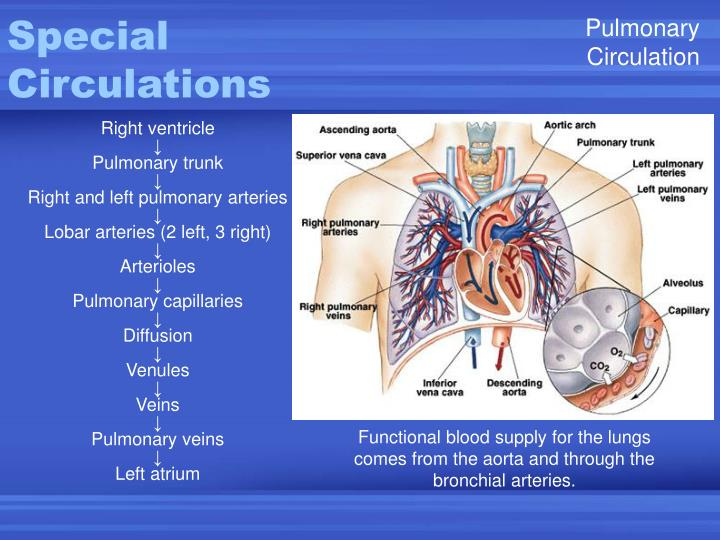 Ppt Functional Anatomy Of Blood Vessels Powerpoint Presentation