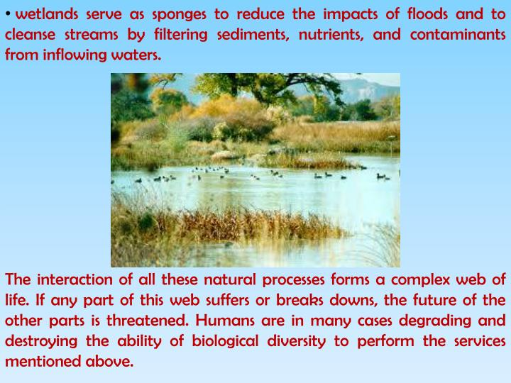 wetlands serve as sponges to reduce the impacts of floods and to cleanse streams by filtering sediments, nutrients, and contaminants from inflowing waters.