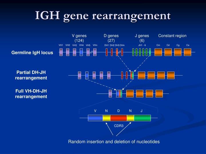 V genes