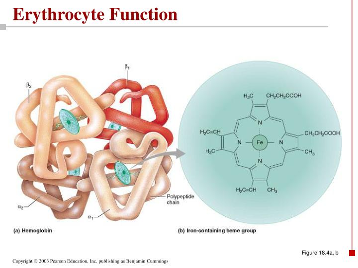 Erythrocyte Function