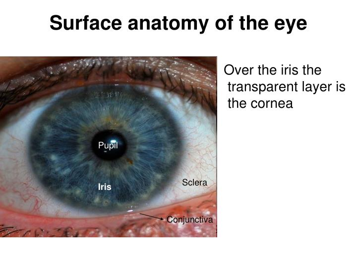 Ppt Surface Anatomy Of The Eye Powerpoint Presentation Id2942416