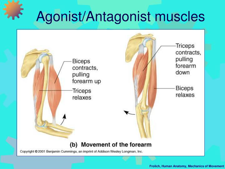 Agonist/Antagonist muscles