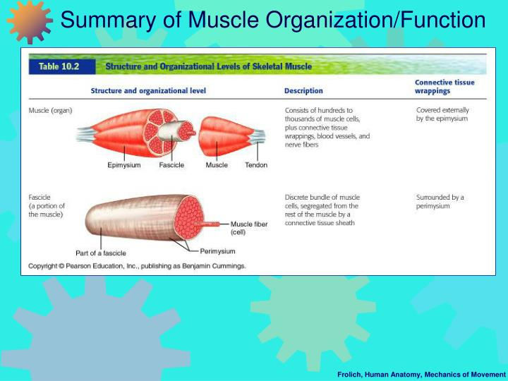 Summary of Muscle Organization/Function