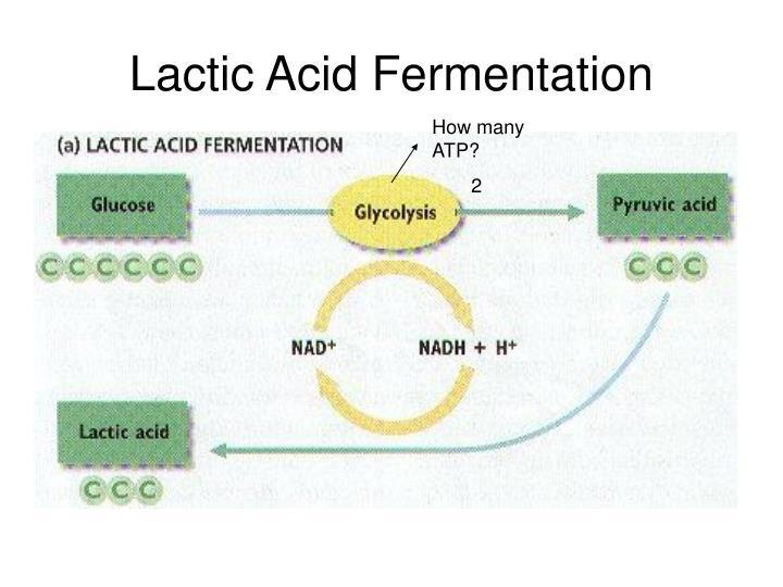Lactic Acid Fermentation