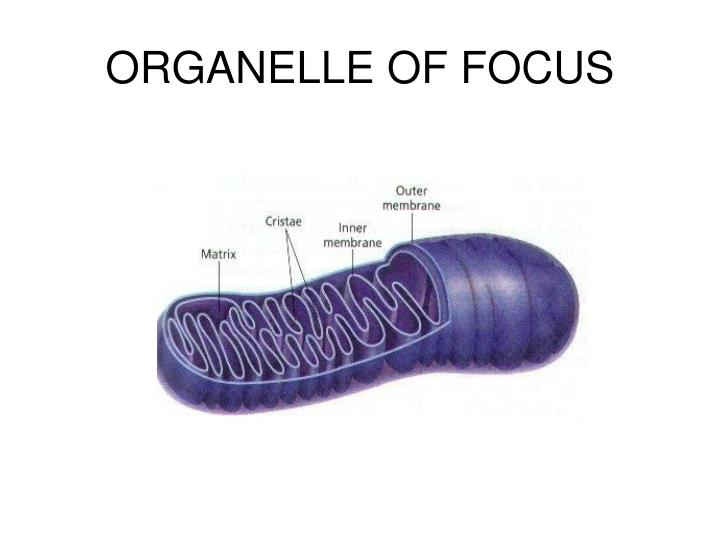 Organelle of focus