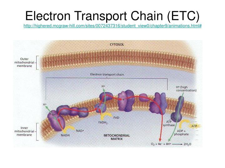 Electron Transport Chain (ETC)