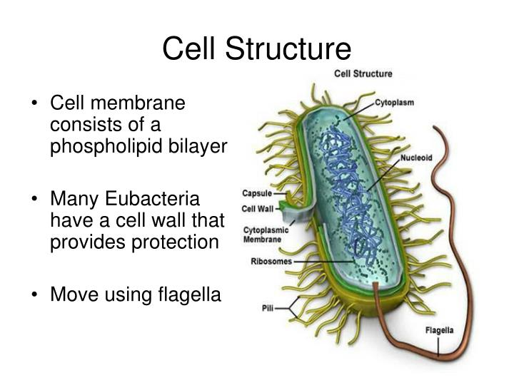 Cell membrane consists of a phospholipid bilayer