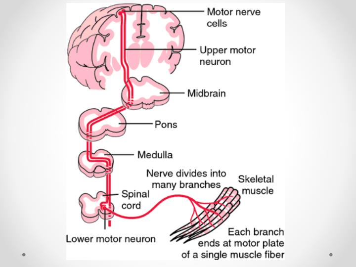 Upper and lower motor neurons. From Damjanov, 2000.