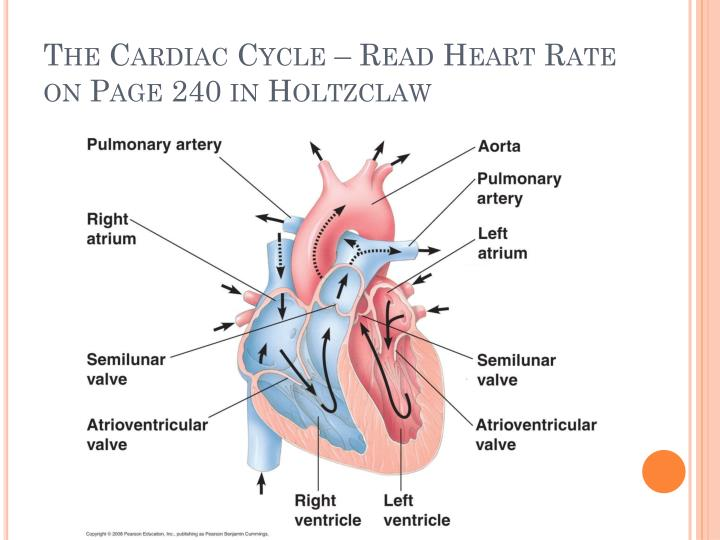 The Cardiac Cycle – Read Heart Rate on Page 240 in Holtzclaw