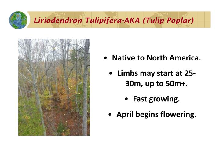 Liriodendron Tulipifera-AKA (Tulip Poplar)