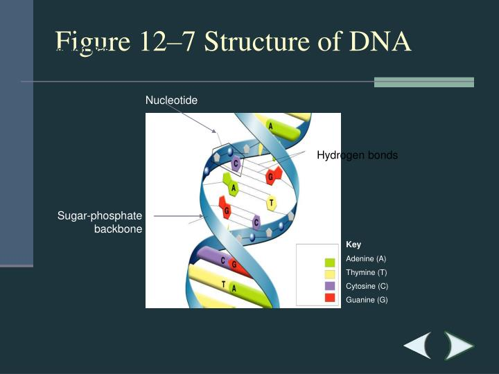 Figure 12–7Structure of DNA