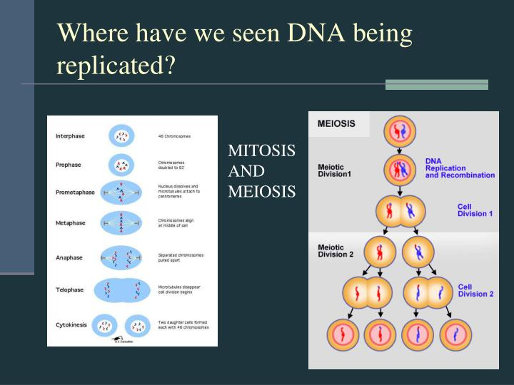Where have we seen DNA being replicated?