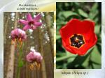 lilie zlatohlav lilium martagon