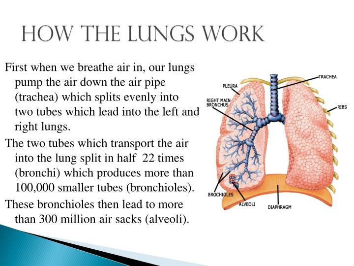how lungs work The contraption you built is a model of how your lungs work the plastic at the bottom works like your diaphragm—a strong muscle that expands and contracts to cause your lungs to fill with air and then empty out again the movement of the balloon matches your breathing - when you breathe in, your lungs fill with air just like the balloon did.