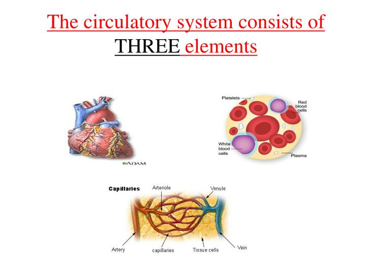 The circulatory system consists of