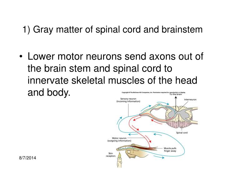 1) Gray matter of spinal cord and brainstem