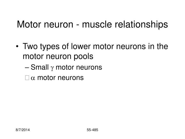 Motor neuron - muscle relationships