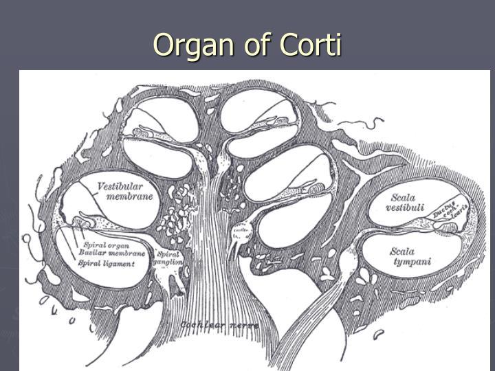 Organ of