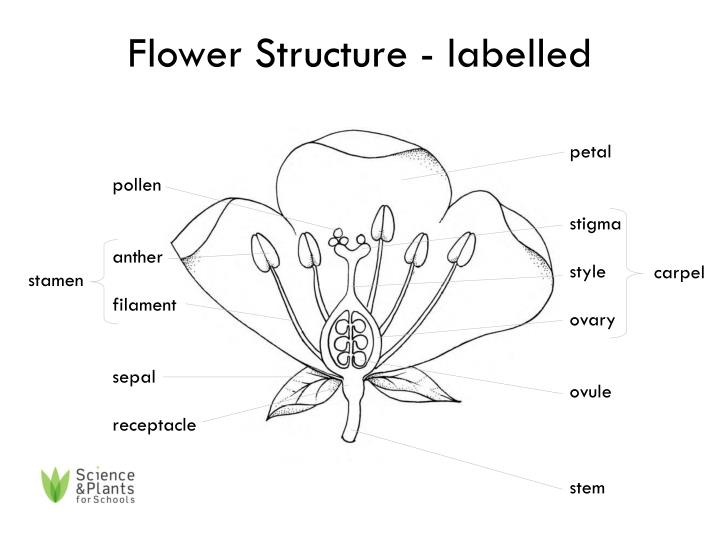 ppt - flower structure - labelled powerpoint presentation
