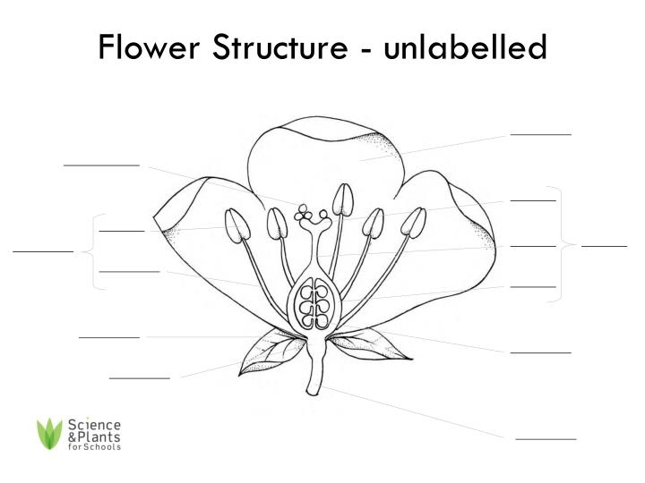 PPT - Flower Structure - labelled PowerPoint Presentation ...