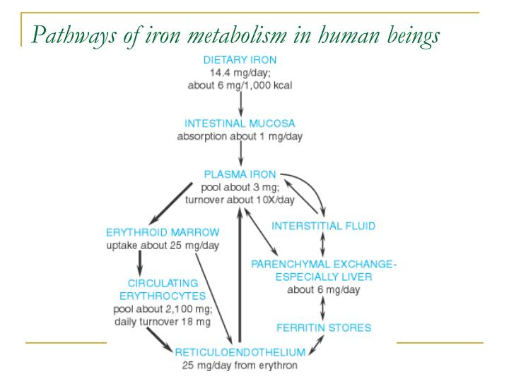 Pathways of iron metabolism in human beings