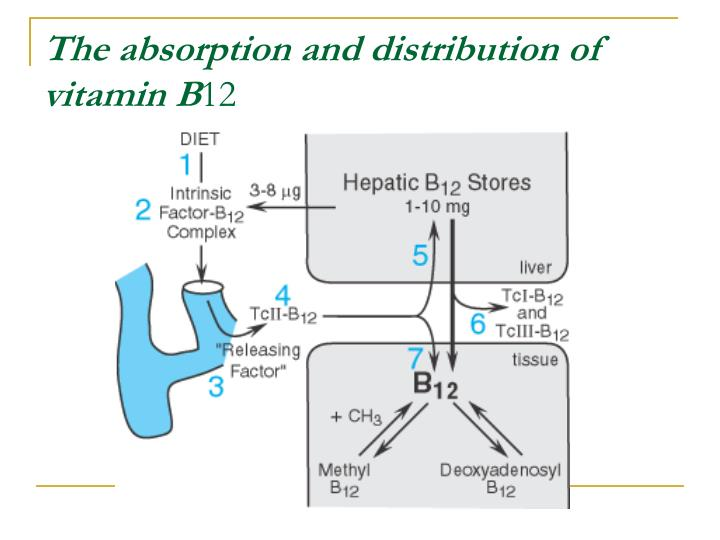 The absorption and distribution of vitamin B