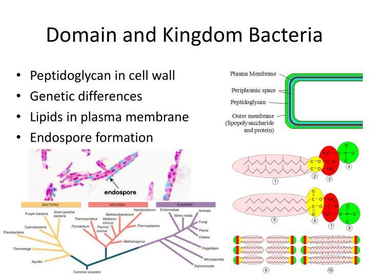 Domain and Kingdom Bacteria