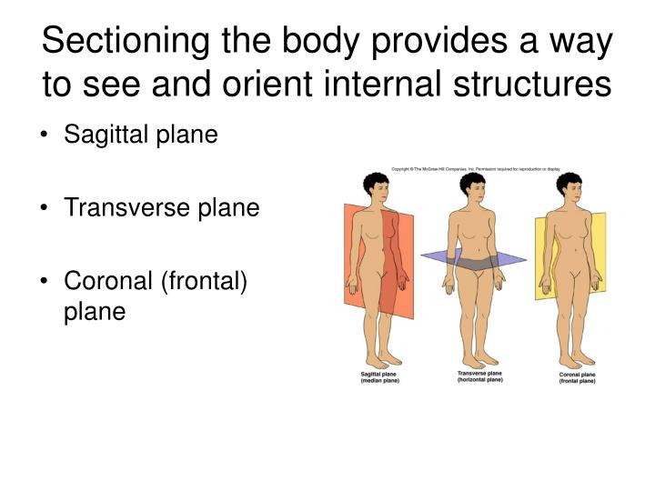 Ppt Anatomical Terminology Body Sections Relative Positions Body