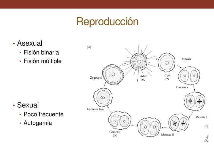 Gregarinas reproduccion asexual