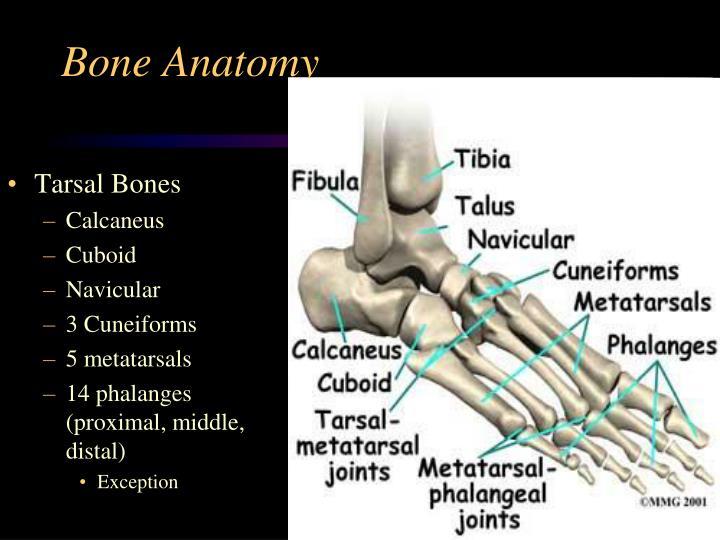 PPT - Foot Anatomy PowerPoint Presentation - ID:2962633