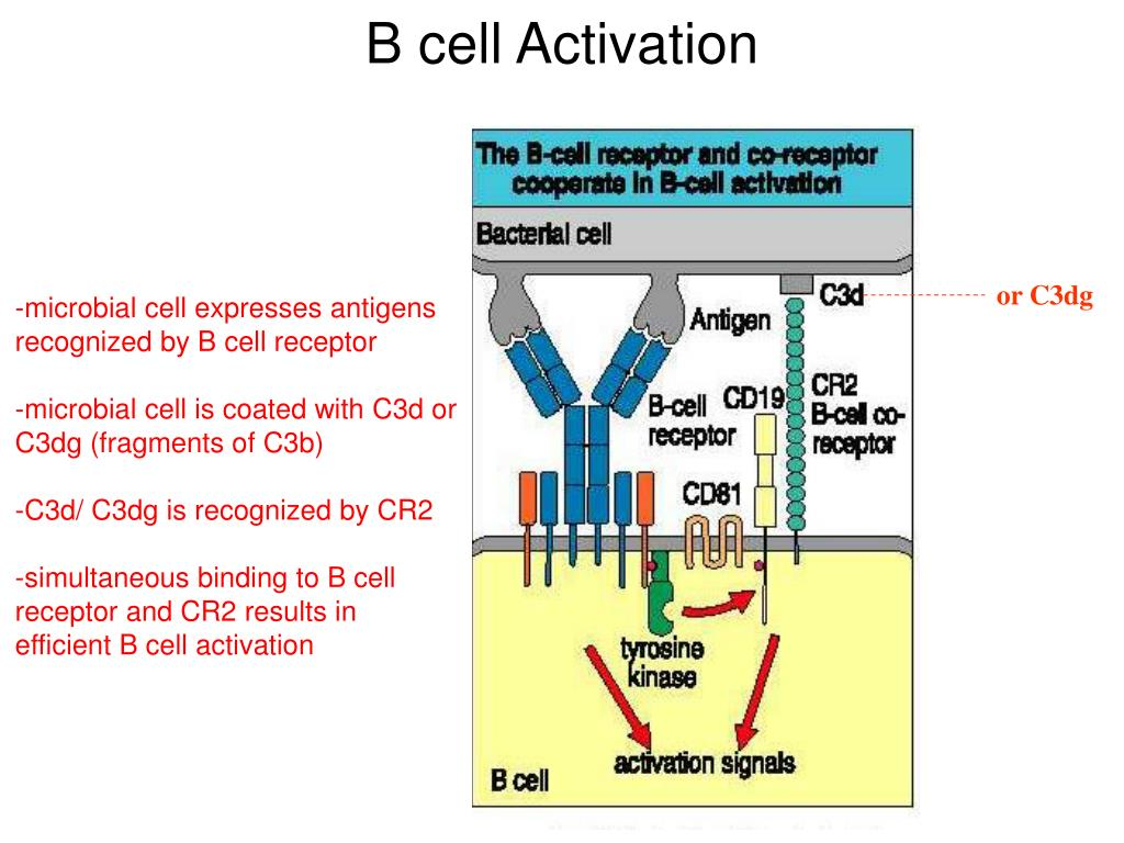 cells expressing cd19 specific cars - HD 1024×768